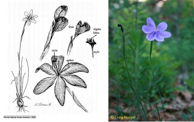 Bartram's Ixia drawing and photo