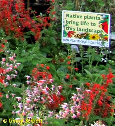 Scarlet rosemallow (Hibiscus coccineu)